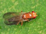 Sobarocephala sp.
