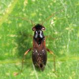 Pilophorus gracilis