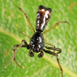 Arrowshaped Micrathena - Micrathena sagittata (male)