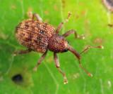 Conotrachelus pusillus