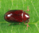 Calymmaderus nitidus