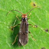 Tytthonyx erythrocephala