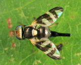 Four-barred Knapweed Gall Fly - Urophora quadrifasciata