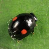 Hyperaspis sp. (binotata/signata group), female