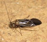 Cerastipsocus venosus