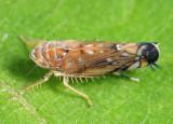 Vine Leafhopper - Scaphoideus titanus