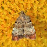 2650 - Apple Leaf Skeletonizer Moth - Choreutis pariana