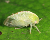 Atymna helena (female)