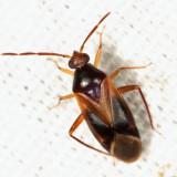 Ceratocapsus modestus