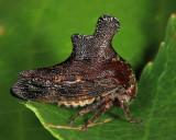 Heliria scalaris