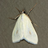 4986.1 - Greenish-Yellow Sitochroa - Sitochroa palealis