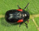 Saxinis sp.