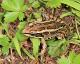 Pickerel Frog - Rana palustris