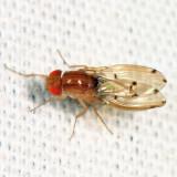 Drosophila deflecta