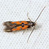 1463 - Linnaeus's Spangle-wing - Chrysoclista linneella