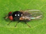 Lonchaea sp.