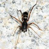 Twobanded Antmimic - Castianeira cingulata