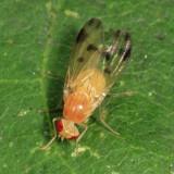 Homoneura sp.