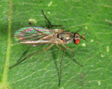 Gymnopternus sp.