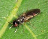 Melanomyza manuleata