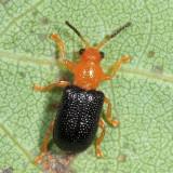 Megalopodid Leaf Beetles - Megalopodidae