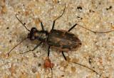 Margined Tiger Beetle - Ellipsoptera marginata