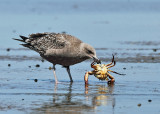 Great Black-backed Gull - Larus marinus (eating a crab)