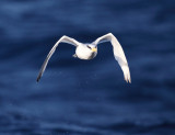 Red-billed Tropicbird - Phaethon aethereus