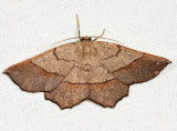 6731 - Scrub Euchlaena - Euchlaena madusaria