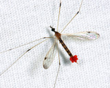 Helius flavipes (with mites attached)