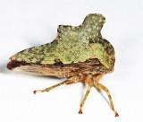Heliria cristata