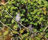 Gray Catbird - Dumetella carolinensis (adult and immature)