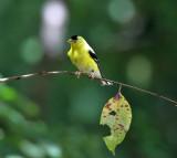 American Goldfinch - Carduelis tristis
