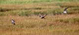 Shorebirds - genus Numenius