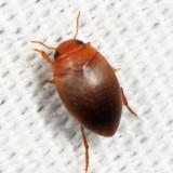 Coelambus sylvanus