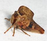 Telamona maculata