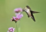 Ruby-throated Hummingbird - Archilochus colubris