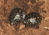 Spotted Turtles - Clemmys guttata