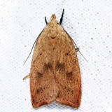 0951 - Gold-striped Leaftier - Machimia tentoriferella