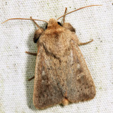 10461 - Ursula Wainscot - Leucania ursula