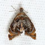 2629 - Skullcap Skeletonizer Moth - Prochoreutis inflatella