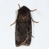 10803 - Fleece-winged Dart - Euxoa velleripennis