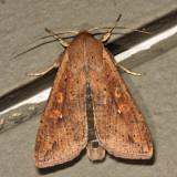 10438 - Armyworm - Mythimna unipuncta