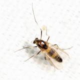 Cricotopus sp. (subgenus Cricotopus)
