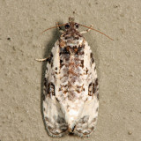 2820 - Malana Leafroller - Olethreutes malana