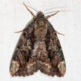 8770 - Betrothed Underwing - Catocala innubens