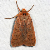9943 - Unsated Sallow - Metaxaglaea inulta