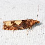 3208 - Birch Epinotia Moth - Epinotia trigonella