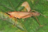 Neoconocephalus retusus