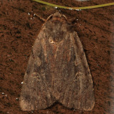 10968 - Northern Variable Dart - Xestia badicollis